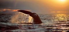 The Peninsula Valdes - Whale's fluke