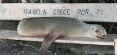 Isla Isabela Sea lion