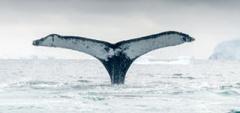 Whale fluke