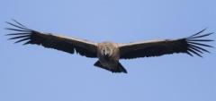 Andean Condor - Torres del Paine