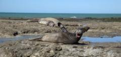 Peninsula Valdes elephant seal