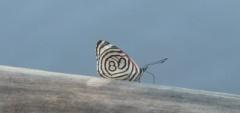 Janice and Charles - Iguazu Falls butterfly