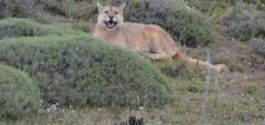 Inez---Puma