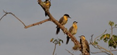 Janice and Charles - Esteros del Ibera Woodpeckers