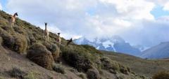 Guanacos in the Torres del Paine