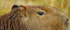 Esteros del Ibera - Capybara