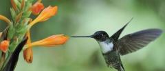 Cloud forest hummingbird