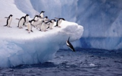 Adelie penguins diving