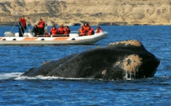 What to do in Argentina - Whale watching